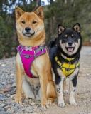 Postroj Red Dingo polstrovaný - žlutý, fotografie 9/8