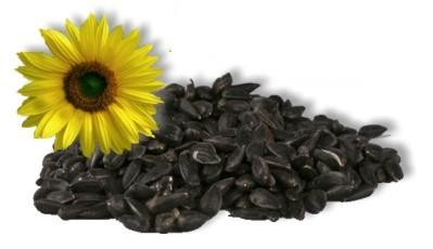 Slunečnice černá - sklizeň 2017